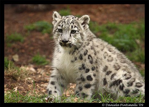 Baby Snow Leopard IX by TVD-Photography