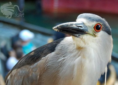 Night Heron Stare by TaksArtPhotos