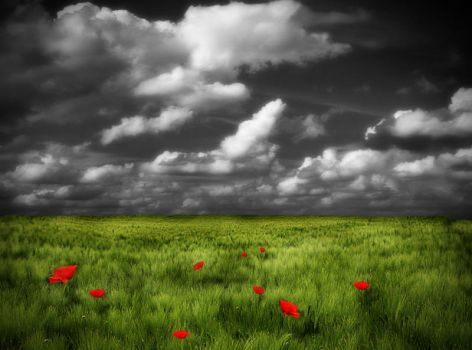 Poppy field stock by Sleepwalker-stock