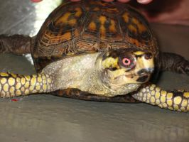 Turtle with a Red Eye by HarleyQuinn2012