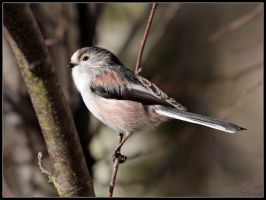 Long Tailed Tit 4 by cycoze
