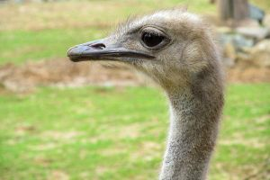 Ostrich by Becky125