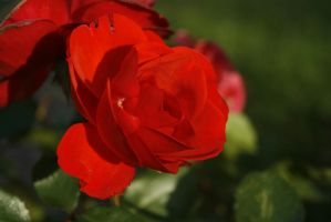 Red red rose by Morneion