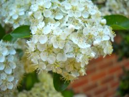 Another white flower moment by Beccadinasour