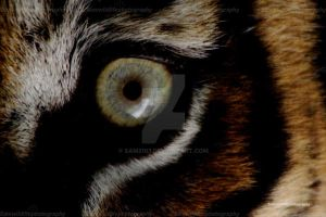 the eye of a tiger by Sam2103