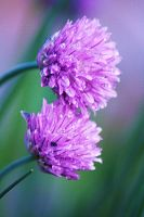 allium by marob0501