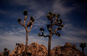 Joshua Trees Reaching the Stars by louieschwartzberg