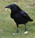 Crow by FrankAndCarySTOCK