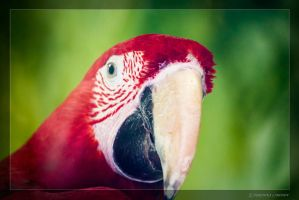 Parrot Macaw by NikaLim