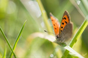 Small Copper by linneaphoto