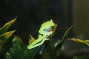 Tree Frog by Danika-Stock
