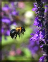 Carpenter Bee 40D0023915 by Cristian-M