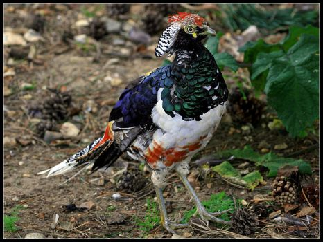 Lady Amherst's Pheasant by cycoze