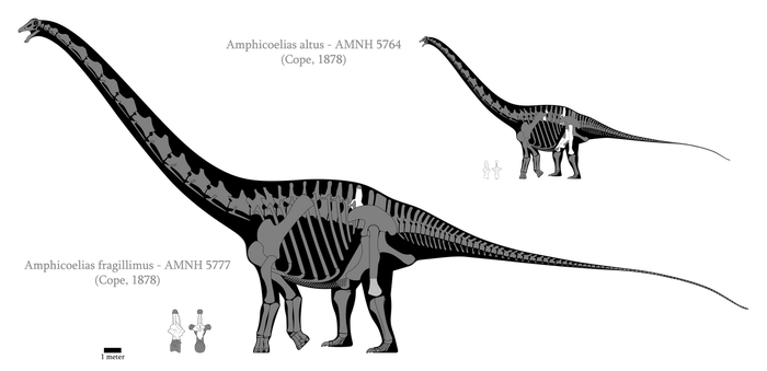 Amphicoelias skeletal reconstructions by SpinoInWonderland