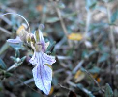 Teucrium fruticans - updated by floramelitensis