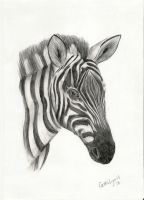 Zebra by carriephlyons