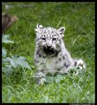 Baby Snow Leopard:Eat Grass II by TVD-Photography