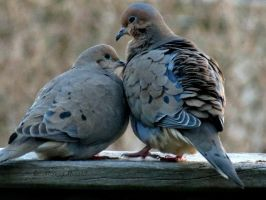 Mourning Dove Pair by Michies-Photographyy