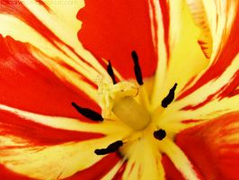 Inside a tulip by rosaarvensis