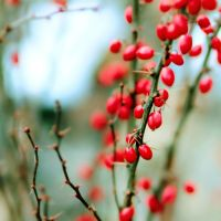 Berries 2 by gb-photos