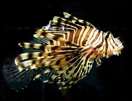 Aqwa stock Lionfish 5 by hatestock