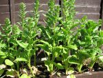 Spinach Plant by samanthanagel1567