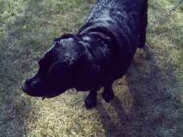Black Lab by amyhatesyouaswell