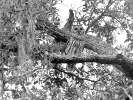 Owl In My Tree B/W by brookiebabyy41