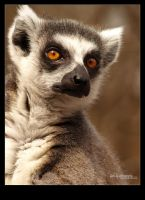 Lemur's face by Leitor