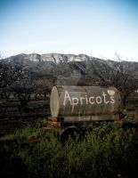 Apricots by NAUX