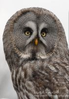 Grey Owl Portrait by Shadow-and-Flame-86