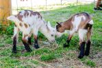 Stock 90 (Young Goats) by Einheit00