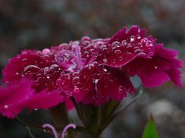 Dark carnation after rain 3 by TinyWild