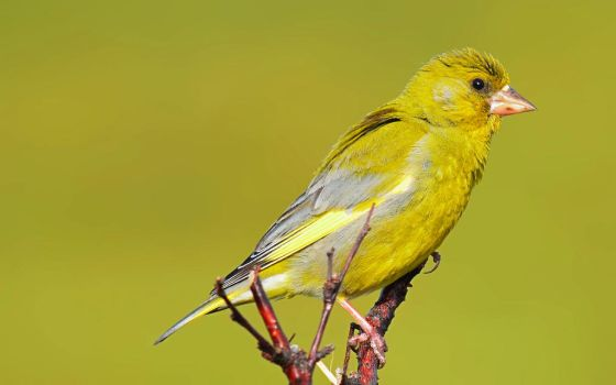 European Greenfinch IV by nordfold