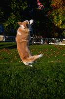 Corgi jumps by uudii