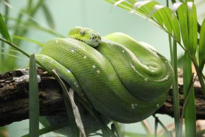 Green Tree Python by LHufford