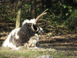 Jacob Sheep 1 by mrscats
