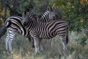 Zebras by Llucas84
