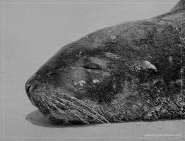 Hooker's Sea Lion by PhotoPurist