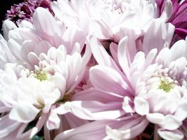 Chrysanthemums by calsilver