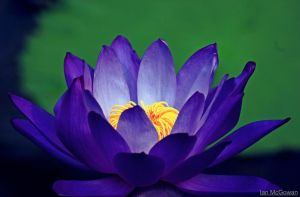 Lotus blues . by 999999999a