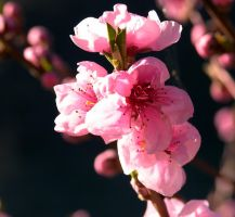 Peach blossoms 2 by riviera2008