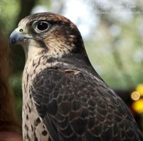 Cassie The Lanner Falcon by SD-of-Chaos-Society