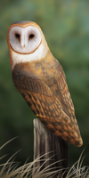 Barn Owl by ScreamingMaggot911
