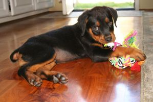 My Rottweiler, Maximus by OrioNebula