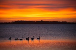 Swans in The Sunrise by ralfkaiser