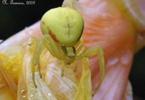 Goldenrod Crab Spider by NTamura