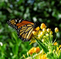 monarch by Sally599