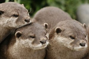Orana Wildlife Otters by Netoma