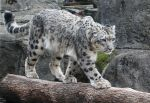 Snow Leopard Stock 47 by HOTNStock